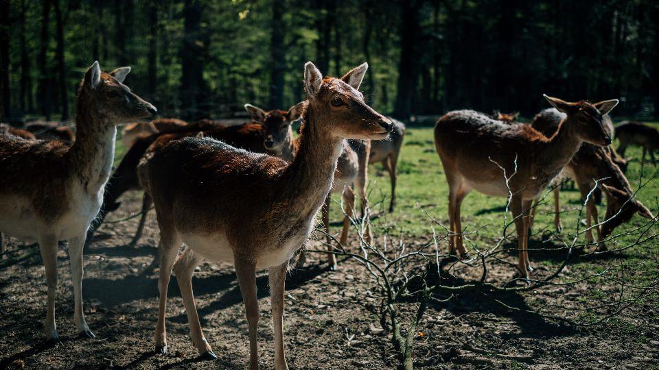 Damwild, einfach schöne Tiere im Niendorfer Gehege (Foto: unsplash/Zhengyu Lyu)